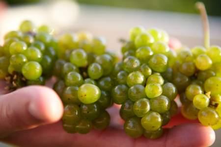 Grapes for AVA CVHOgq.tmp